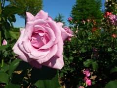 190522バラ園開花 (4)