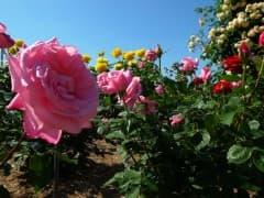 190522バラ園開花 (1)
