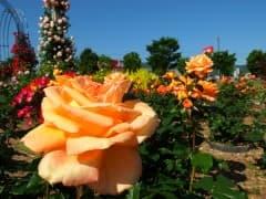 190522バラ園開花 (3)